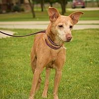 Adopt A Pet :: Loki - haslet, TX
