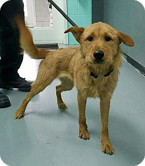 Airedale Terrier/Mixed Breed (Medium) Mix Dog for adoption in Reisterstown, Maryland - Genova