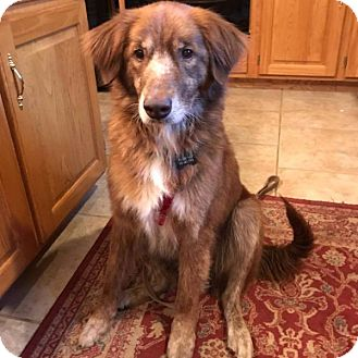 Nova Scotia Duck-Tolling Retriever/Retriever (Unknown Type) Mix Dog for adoption in Minneapolis, Minnesota - Bella