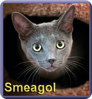 Domestic Shorthair Cat for adoption in Aldie, Virginia - Smeagol