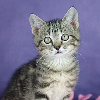 Domestic Shorthair Kitten for adoption in Columbia, Illinois - Ice