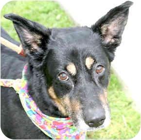 Shepherd (Unknown Type) Mix Dog for adoption in Cincinnati, Ohio - Mya