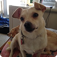 Terrier (Unknown Type, Small)/Chihuahua Mix Dog for adoption in Newell, Iowa - Millie
