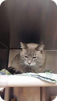 Siamese Cat for adoption in Chippewa Falls, Wisconsin - Lucky