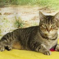 Domestic Shorthair/Domestic Shorthair Mix Cat for adoption in Bristol, Indiana - Thor