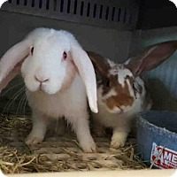 Lop, Holland Mix for adoption in Austin, Texas - *DEAN