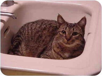 "Domestic Shorthair Cat for adoption in Chesapeake, Virginia - Willow ""Bo Peep"""