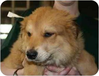 Golden Retriever/Collie Mix Puppy for adoption in Avon, New York - Garth