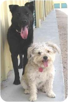 Labrador Retriever Mix Dog for adoption in Golden Valley, Arizona - Trudy