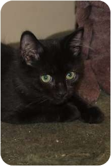 Domestic Shorthair Kitten for adoption in Medina, Ohio - Chumlee