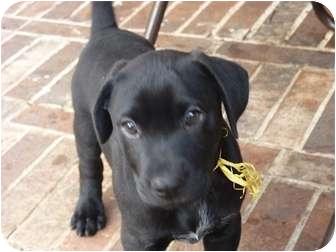 Dalmatian/Labrador Retriever Mix Puppy for adoption in Farmers Branch, Texas - Yellow