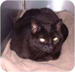 Domestic Shorthair Cat for adoption in Sterling, Kansas - Midnight