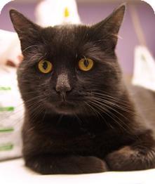 Domestic Longhair Cat for adoption in Medford, Massachusetts - Monty
