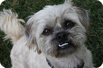 Brussels Griffon/Lhasa Apso Mix Dog for adoption in Los Angeles, California - TOMMY - ADOPTION PENDING!