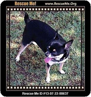 Miniature Pinscher/Chihuahua Mix Dog for adoption in Gilbert, Arizona - Oreo