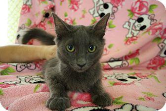 Russian Blue Kitten for adoption in Fountain Hills, Arizona - WAFFLES