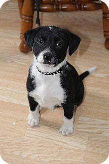 Shepherd (Unknown Type) Mix Puppy for adoption in West Allis, Wisconsin - Bandit
