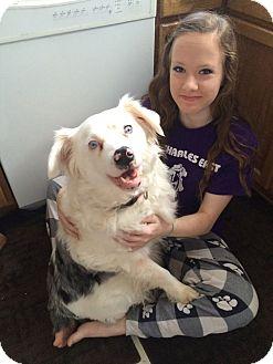 Australian Shepherd Mix Dog for adoption in Naperville, Illinois - Dedra