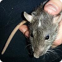Adopt A Pet :: Double Dot Rex - Lakewood, WA