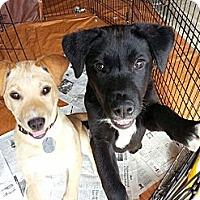 Adopt A Pet :: Stitch - South Jersey, NJ