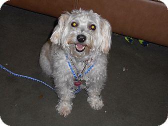 Maltese/Bichon Frise Mix Dog for adoption in Meridian, Idaho - Heidi