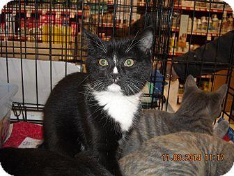 Domestic Shorthair Kitten for adoption in Riverside, Rhode Island - Leena