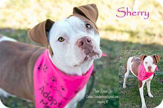 American Staffordshire Terrier/Staffordshire Bull Terrier Mix Dog for adoption in Orangeburg, South Carolina - Sherry - Urgent