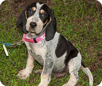 Bluetick Coonhound/Hound (Unknown Type) Mix Puppy for adoption in Lexington, Massachusetts - Ozzie
