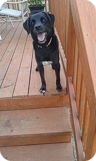 Labrador Retriever Mix Dog for adoption in Clarksville, Tennessee - Sookie