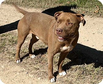 Pit Bull Terrier Mix Dog for adoption in Salem, New Hampshire - BIG RED