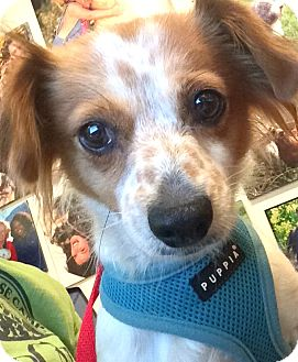 Cavalier King Charles Spaniel/Spaniel (Unknown Type) Mix Dog for adoption in Boulder, Colorado - Penny-ADOPTION PENDING
