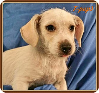 Terrier (Unknown Type, Small) Mix Puppy for adoption in Ahoskie, North Carolina - T-pup3