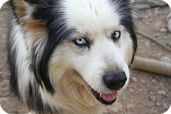 Siberian Husky Dog for adoption in Alamogordo, New Mexico - Panda
