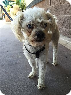 Shih Tzu/Poodle (Miniature) Mix Dog for adoption in Carlsbad, California - Sinatra