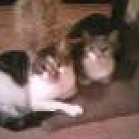 Domestic Shorthair Cat for adoption in Satellite Beach, Florida - Bernadette & Antoinette