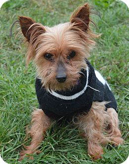 Yorkie, Yorkshire Terrier Dog for adoption in Prole, Iowa - Dolly