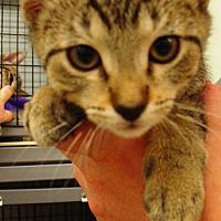 Domestic Shorthair Kitten for adoption in Kalamazoo, Michigan - Josie