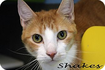 Domestic Shorthair Cat for adoption in Texarkana, Arkansas - Shakes