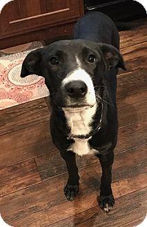 Labrador Retriever Mix Dog for adoption in Austin, Texas - Oreo