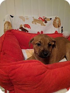 Miniature Pinscher/Jack Russell Terrier Mix Puppy for adoption in Duart, Ontario - Betsy