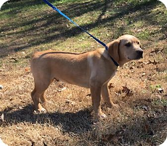 Golden Retriever/Labrador Retriever Mix Puppy for adoption in Spring Valley, New York - Merle
