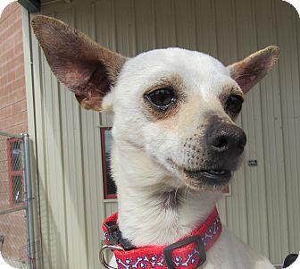 Chihuahua Mix Dog for adoption in Sierra Vista, Arizona - Chiwee
