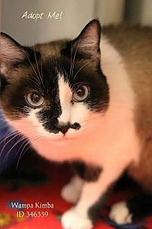 Japanese Bobtail Cat for adoption in Camden, Delaware - Wampa Kimba