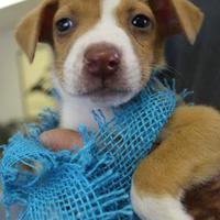 Adopt A Pet :: 35511909 - Cleveland, AL