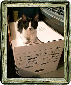 Domestic Shorthair Kitten for adoption in Lombard, Illinois - Plaid