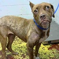 Adopt A Pet :: BRITTANY - Atlanta, GA