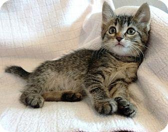 Domestic Shorthair Kitten for adoption in Des Moines, Iowa - Cristina
