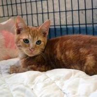 Domestic Shorthair/Domestic Shorthair Mix Cat for adoption in Covington, Louisiana - Louie