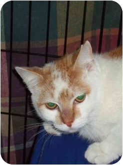 Domestic Shorthair Cat for adoption in Fort Lauderdale, Florida - Oshe