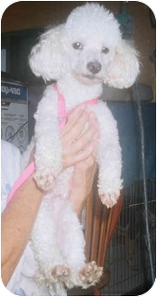 Poodle (Miniature) Dog for adoption in Coral Springs, Florida - Ruffi